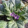 【画像】「マンドラゴラ」が開花 ハリポタにも登場! 抜いた根っこの画像あり